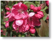 Malus Rudolph available from Buckingham Garden Centre and by Mail Order from hedging.co.uk