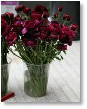 Bulb of the Year 2019  Ranunculus 'Purple Heart' available from Buckingham Garden Centre
