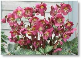 Anna's Red Helleborous available at Buckingham Garden Centre