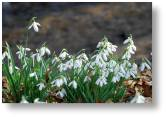 Evenley Snowdrop Weekends