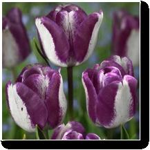 tuliphotpantslarge.jpg