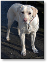 Medical Detection Dog - Whizz