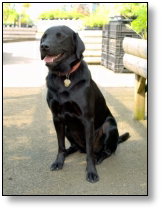 Medical Detection Dog - Barton