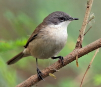 Common Whitethroats can be seen at Lindengate's site in Wendover