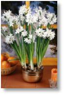 Narcissus Paper White available from Buckingham Garden Centre