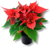 Poinsettias - Christmas gift ideas from Buckingham Garden Centre