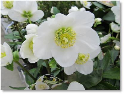 Christmas rose - Christmas gift idea from Buckingham Garden Centre